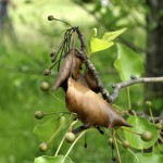 Fire Blight of Ornamental Pear Tree