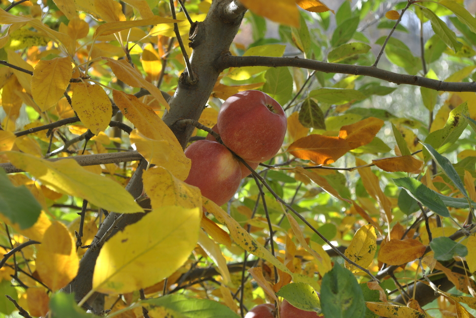 Fruit tree care advantages of fall planting - Planting fruit trees in autumn ...