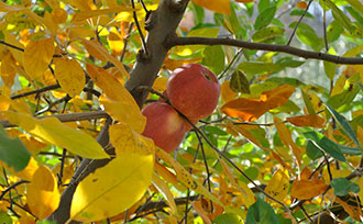 Fruit Tree Care: Fall Planting