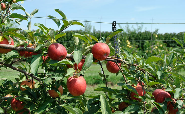 Image gallery espalier fruit - Fruit trees in small spaces decoration ...