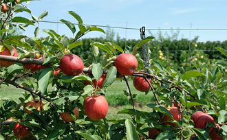 What are Espalier Fruit Trees?