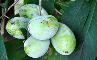 All About Pawpaws