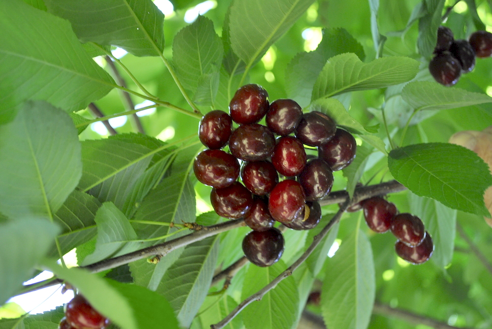 Protect your harvest with mulberry trees stark bros ripe sweet cherries on tree sciox Image collections