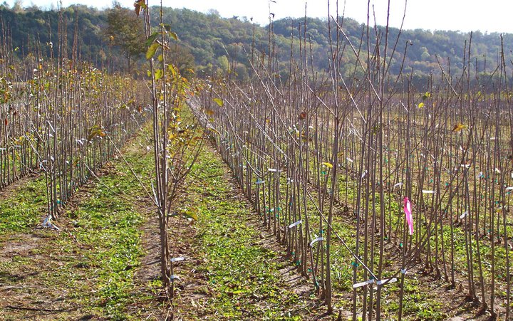 Field of fruit trees