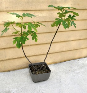 Chicago Hardy Fig Tree in Container