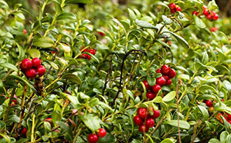 Edible Landscapes: Lingonberries
