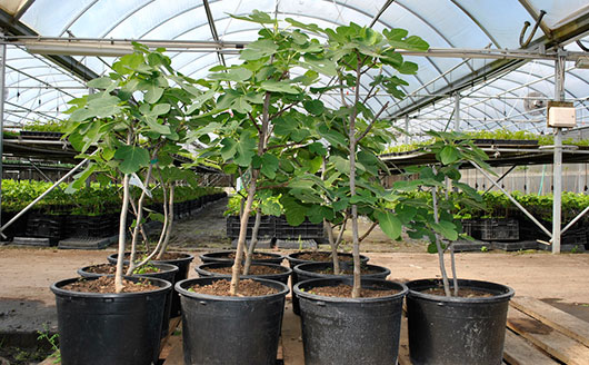 Growing Fig Trees in Containers - Stark Bro's on vegetable garden on wheels, garden table on wheels, garden bench on wheels, herb planter on wheels, raised garden boxes on wheels, plastic planter on wheels, rectangular planter on wheels, trough planter on wheels, garden containers on wheels, garden tool carts on wheels, garden bucket on wheels, boat planter on wheels, garden hose on wheels, elevated garden on wheels, white planter on wheels, outdoor planter on wheels, garden chair on wheels, planter stands on wheels, garden sprayer on wheels, cedar planter on wheels,