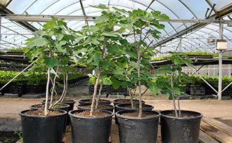 Growing Fig Trees in Containers