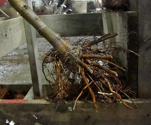 Bare-root Tree Roots