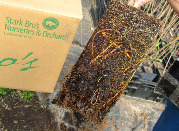 Stark® EZ Start® Roots of Mulberry