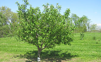 Fruit Tree Care: Watering & Fertilizing