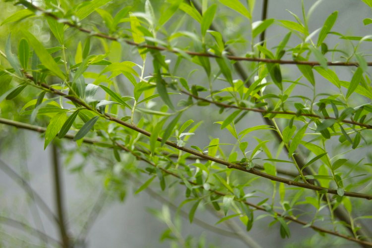 Hybrid Willow Branches