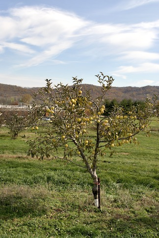 Dwarf Candy Crisp Apple Tree