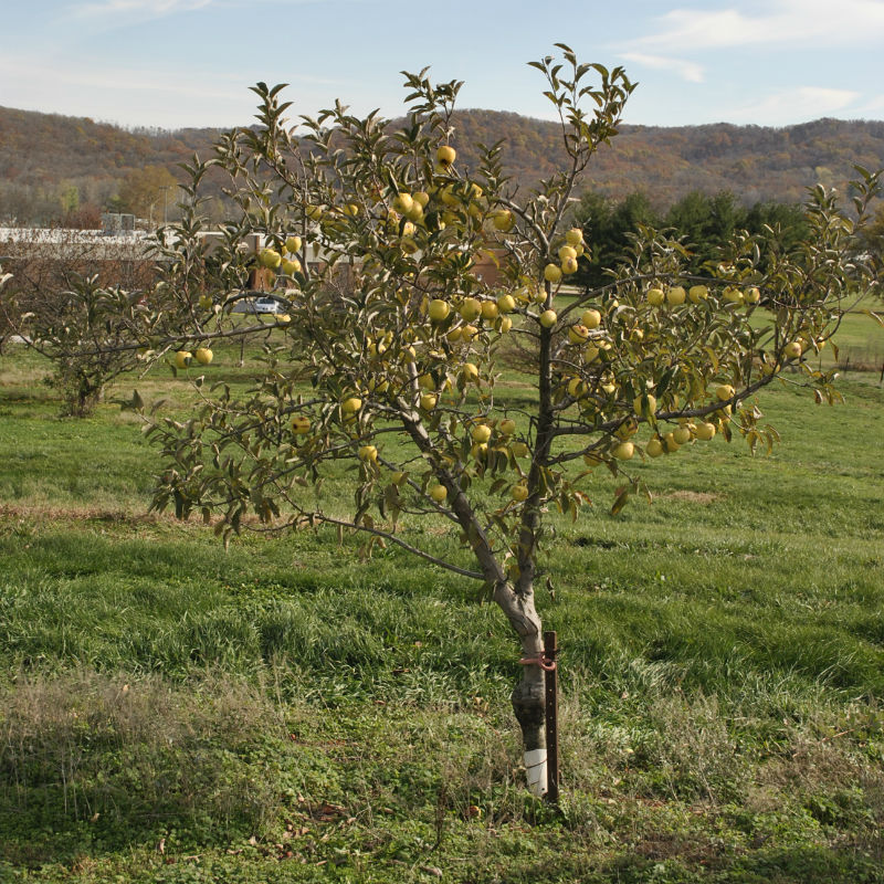 Young Candy Crisp Apple Tree growing
