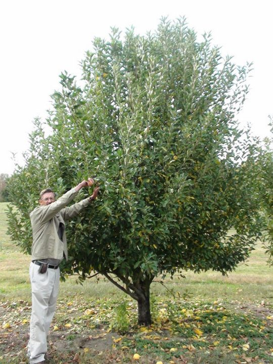 Nonbearing Apple Tree
