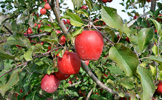 Stages of Apple Tree Growth: What to Expect After Planting