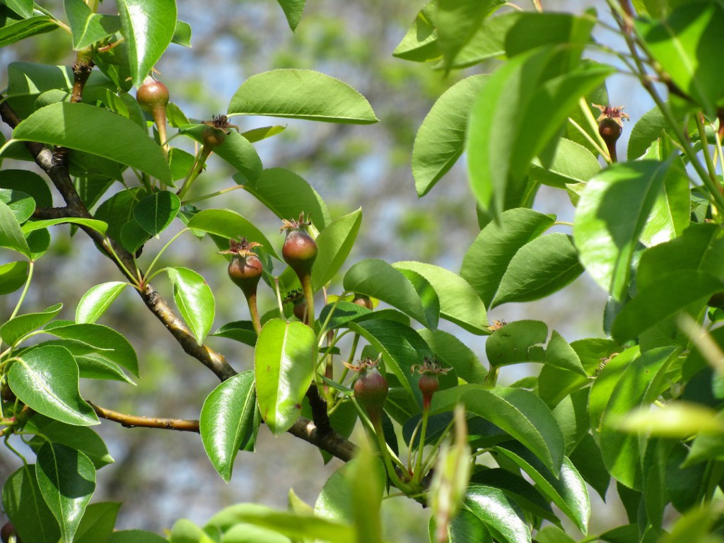 Several Young Fruit Form Along Branches