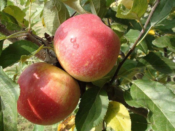 Stages Of Apple Tree Growth What To Expect After Planting Stark