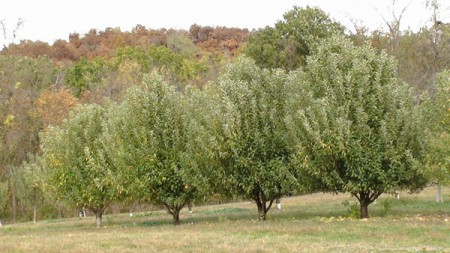 Healthy Lush (nonproductive) Apple Trees