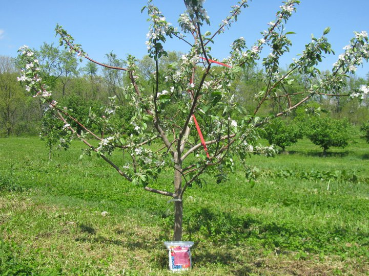 3-4 Years (after planting) - Apple Tree