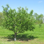 5-6 Years (after planting) - Apple Tree