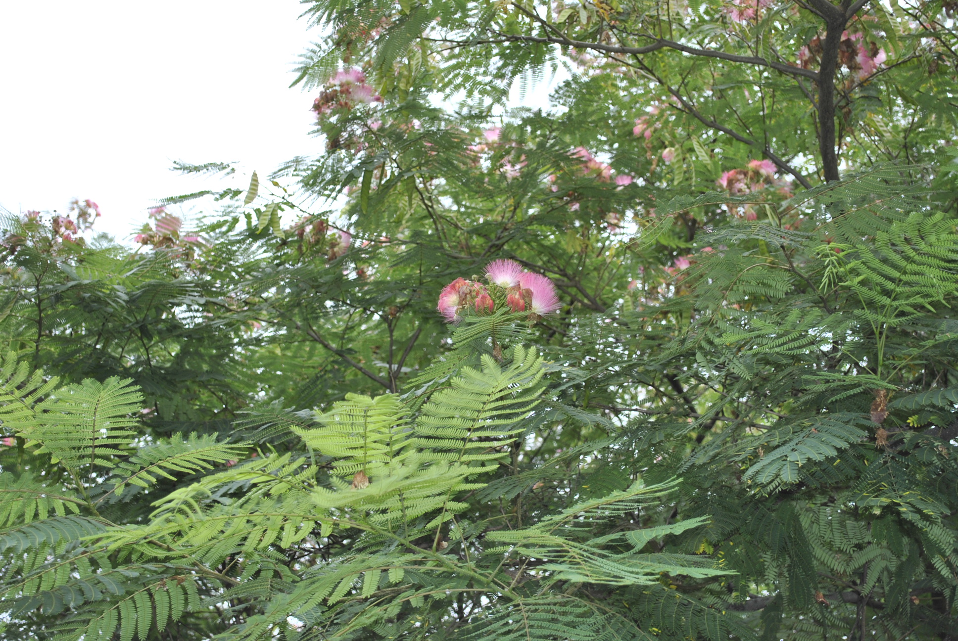 Mimosa Flowers & Leaves