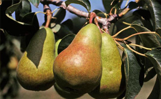 How to Tell When Pears Are Ready to Harvest
