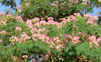Brighten your back yard with a colorful mimosa tree stark bros brighten your back yard with a colorful mimosa tree mightylinksfo