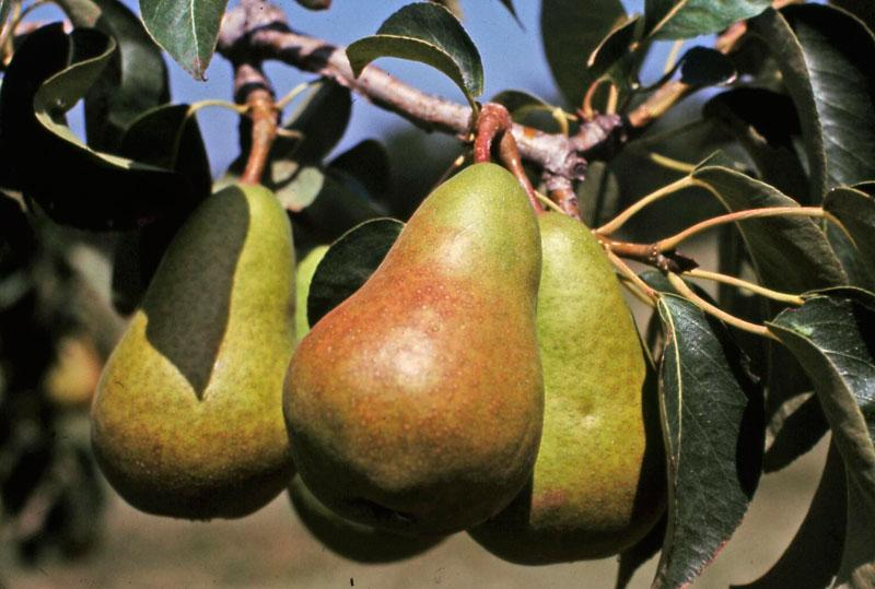 Mature Pears on Branch