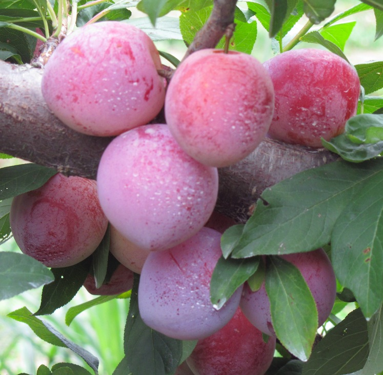 Plum Bumper Crop