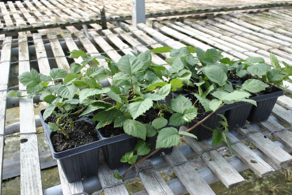 Semi-Erect Blackberry Plants Jumbo-6 Pack