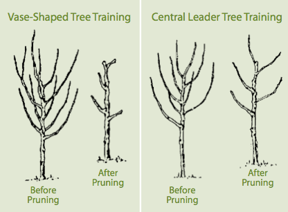 Central Leader & Open Center Pruning