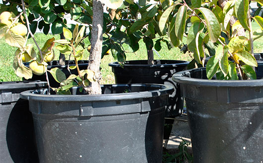 Growing Fruit Trees in Containers, Part 1