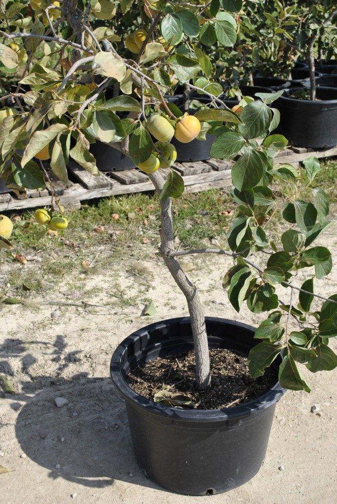 13 year old Persimmon in Container