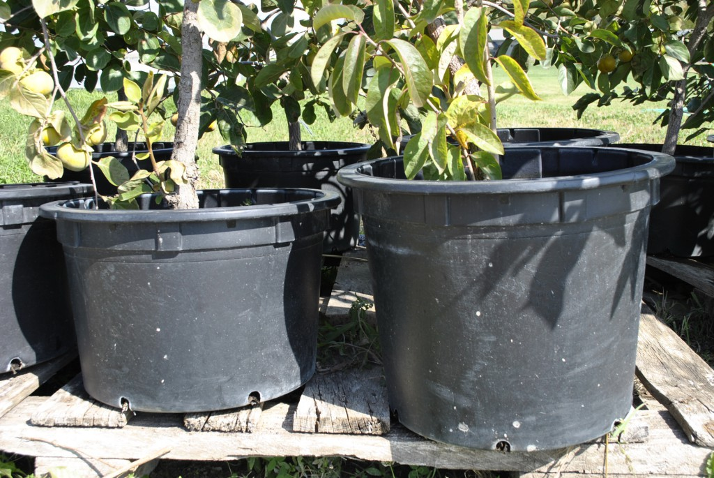 7- to 10-gallon Potted Persimmon Trees