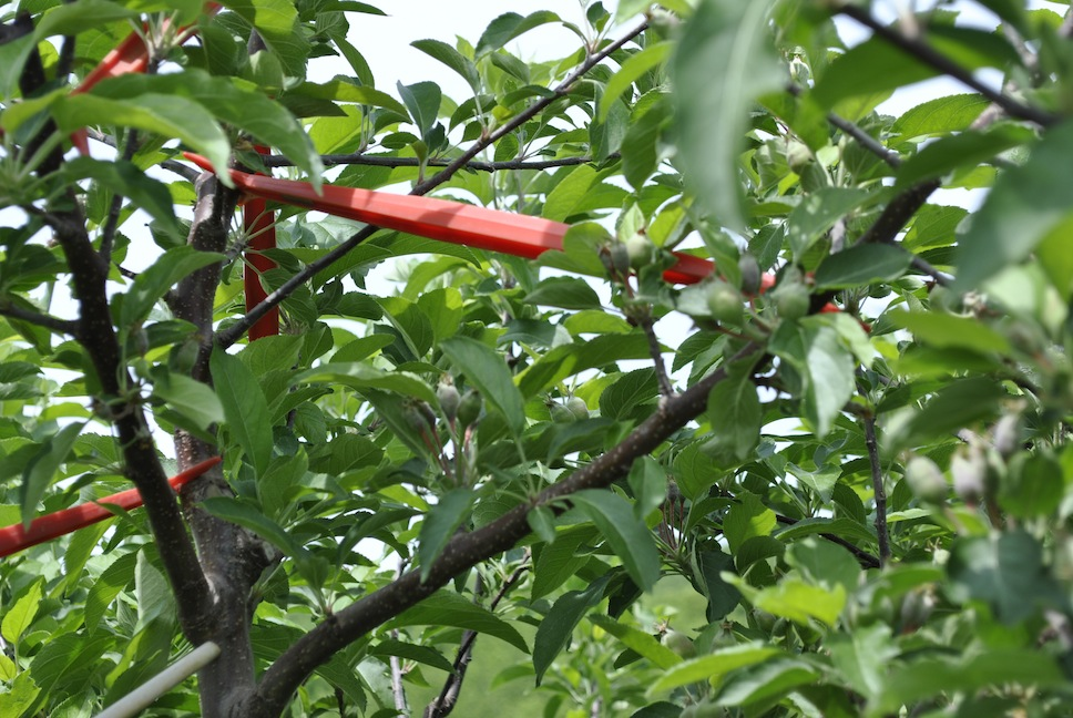 Limb Spreaders Improving Apple Tree Branch Angles
