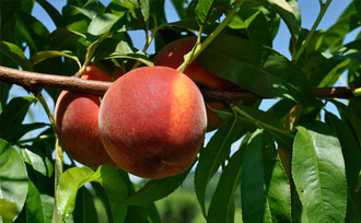 How to Tell When Peaches Are Ready to Harvest