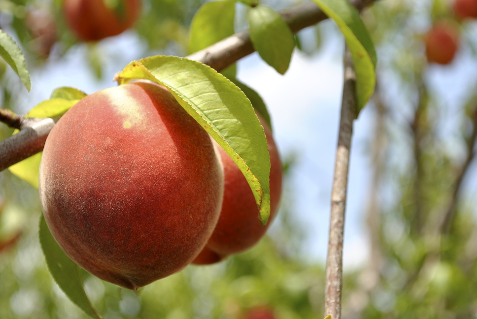 How to tell when peaches are ready to harvest stark bro 39 s for The peach tree