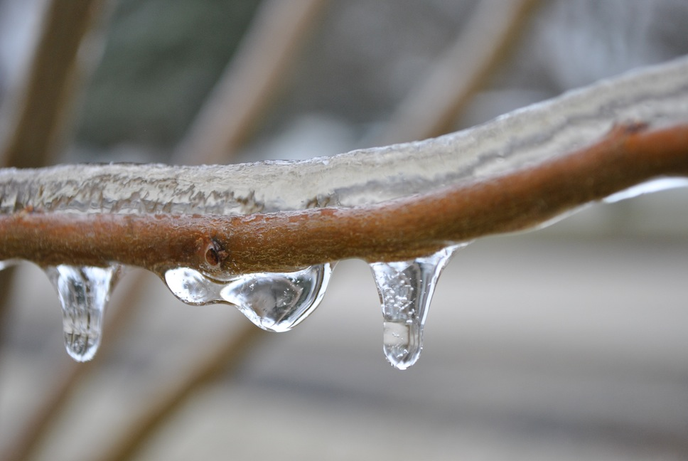 Ice on a Plum Tree Branch