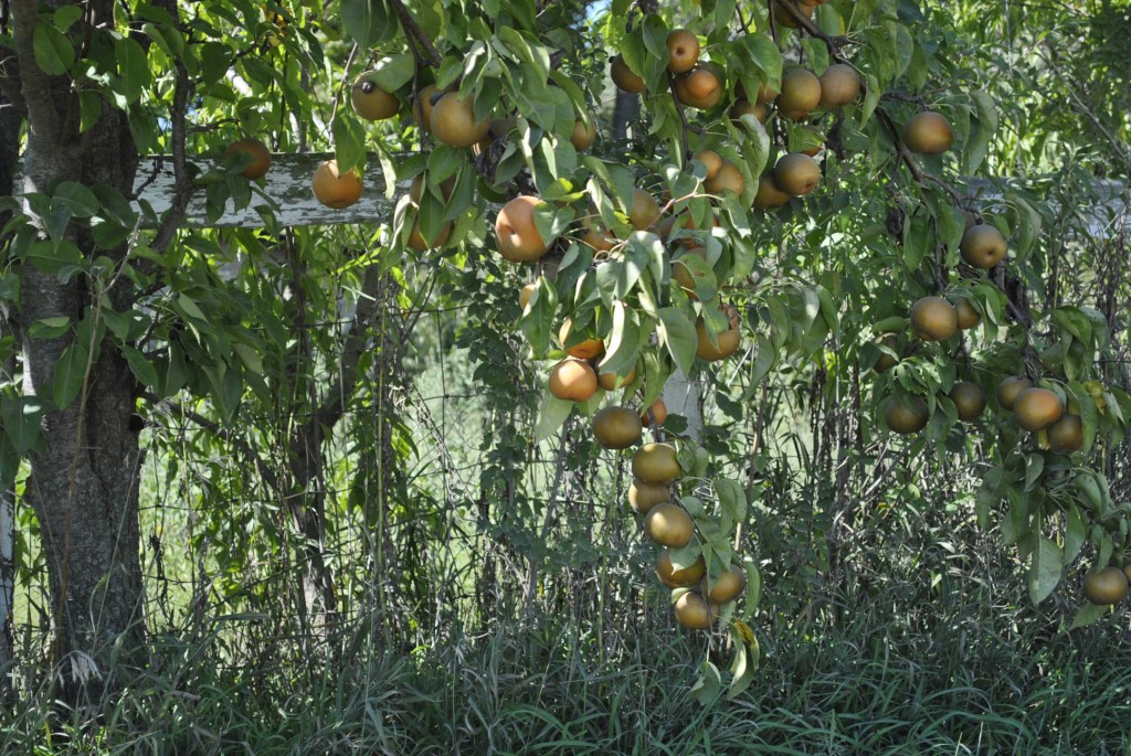 Hardy Giant Asian Pears on Tree