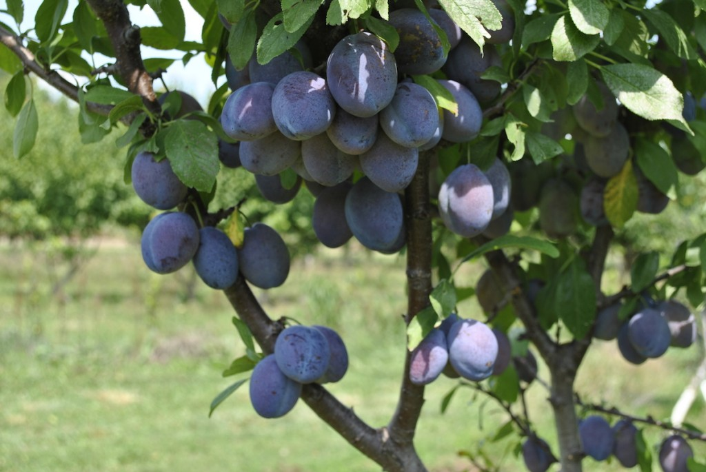Stanley Prune Plums on Tree