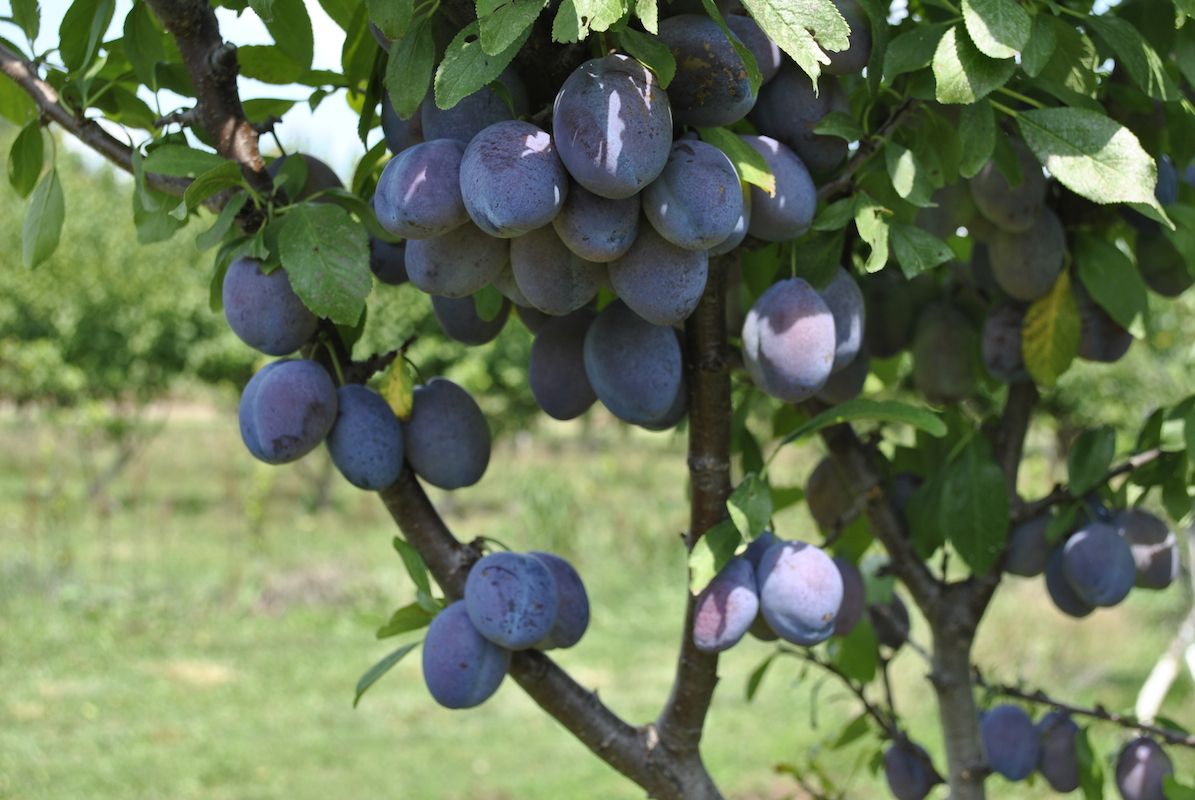 pruning of fruit trees part 44 fruit pruned trees home