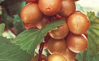 Growing Muscadine Grapes
