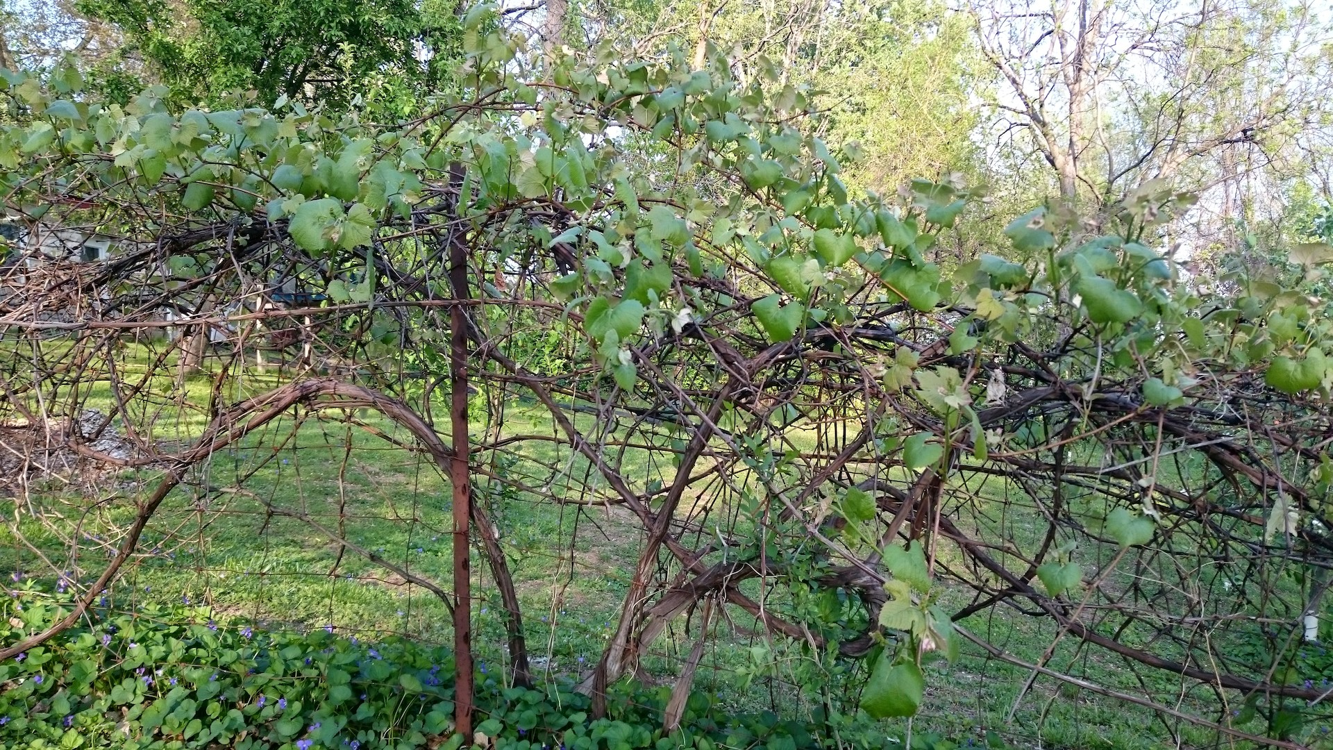 Grape Vine Growing on Fence