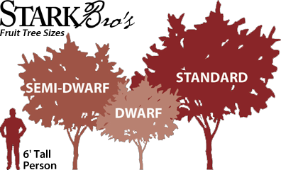 Comparing Dwarf, Semi-Dwarf, Standard Fruit Tree Heights