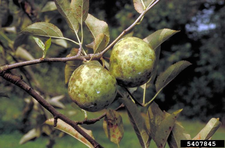 Sooty Blotch on Apple Fruit
