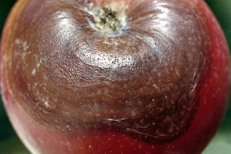 Black Rot on Apple Fruit