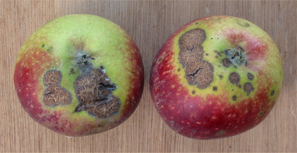 Apple Scab on Apple Fruit