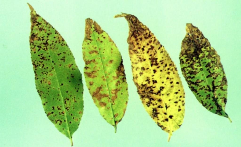 Leaf Spot on Cherry Leaves
