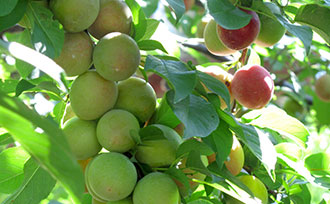 4 Benefits of Thinning Fruit Trees